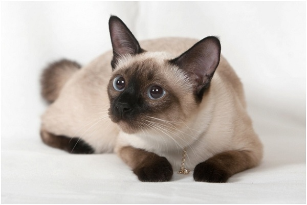 Siamese - 16 to 20 years